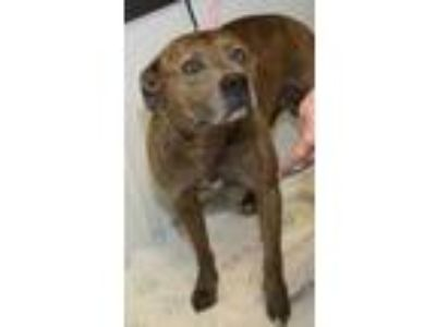 Adopt John Doe a Brindle American Pit Bull Terrier / Mixed dog in Bowling Green