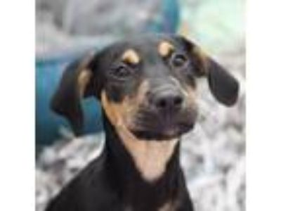Adopt Grace a Hound, Mixed Breed