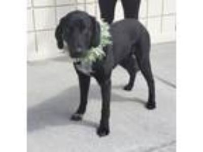 Adopt Rodger a Labrador Retriever