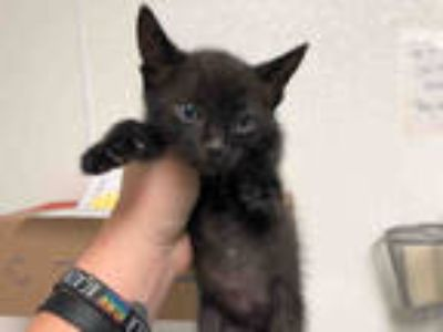 Adopt *MIKEY a Brown Tabby Domestic Shorthair / Mixed (short coat) cat in