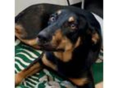 Adopt Poppy a Black - with Tan, Yellow or Fawn Doberman Pinscher / Mixed dog in