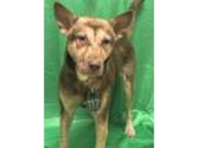 Adopt CHEVY a Brown/Chocolate German Shepherd Dog / Mixed dog in Houston