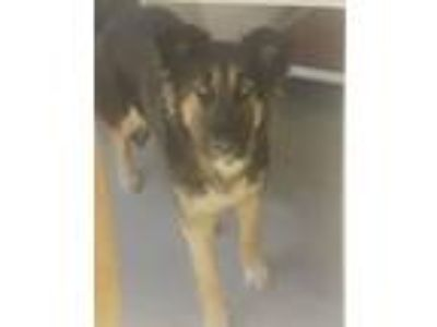 Adopt Elke a German Shepherd Dog, Mixed Breed