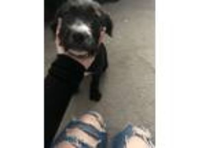 Adopt Nevaeh a Black - with White Labradoodle / American Pit Bull Terrier dog in
