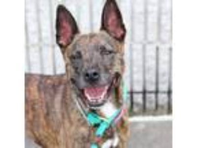 Adopt Rose a Shepherd, Mixed Breed