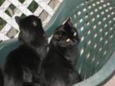 Adopt Blackie a Black (Mostly) American Shorthair / Mixed cat in Los Angeles