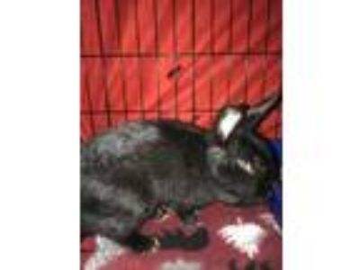 Adopt Olivianna a Black Havana / Mixed rabbit in DeKalb, IL (25866610)