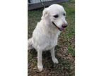 Adopt Nala a Great Pyrenees