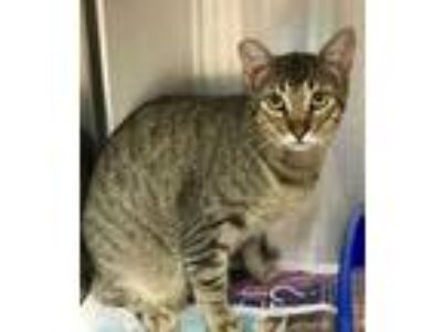 Adopt 42224234 a Brown or Chocolate Domestic Shorthair / Domestic Shorthair /