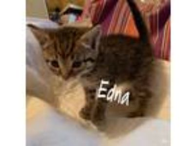 Adopt Edna a Brown Tabby Domestic Shorthair (short coat) cat in Staten Island