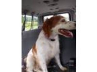 Adopt Claire a Brittany Spaniel