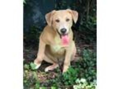 Adopt Billy - handsome, healthy & loves water a Labrador Retriever