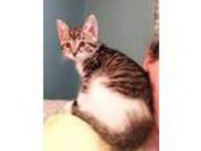 Adopt Hudson a Brown or Chocolate (Mostly) Domestic Shorthair / Mixed cat in