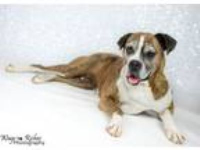 Adopt Rosie - ADOPTION FEE WAIVED FOR THE RIGHT FAMILY - LP a Boxer