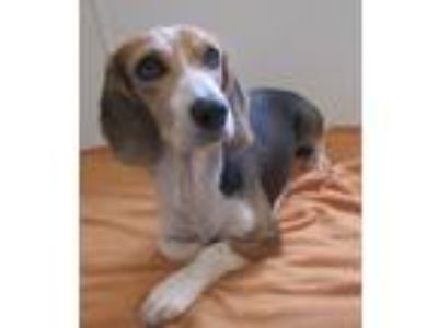 Adopt Dotty a Tricolor (Tan/Brown & Black & White) Beagle / Mixed dog in Holton