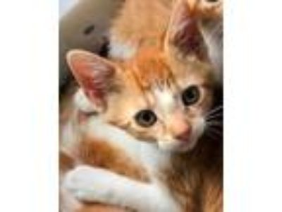 Adopt Gertrude a Orange or Red Domestic Shorthair / Domestic Shorthair / Mixed