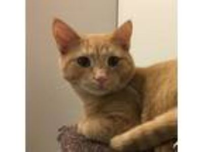 Adopt Apricot a Orange or Red Domestic Shorthair cat in Pendleton, NY (22948791)