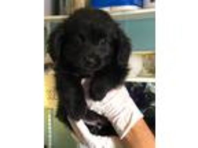 Adopt Chester a Black King Charles Spaniel / Border Collie / Mixed dog in Santa