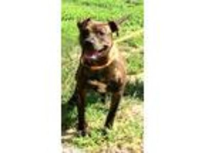 Adopt Brie a Brindle American Staffordshire Terrier / Mixed dog in Newberry