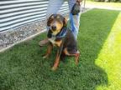 Adopt CHASE a Rottweiler / Shepherd (Unknown Type) / Mixed dog in Lindsay