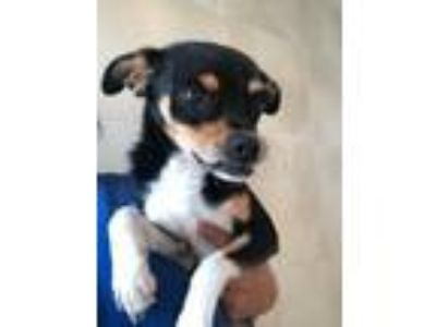Adopt NICK FURY a Terrier