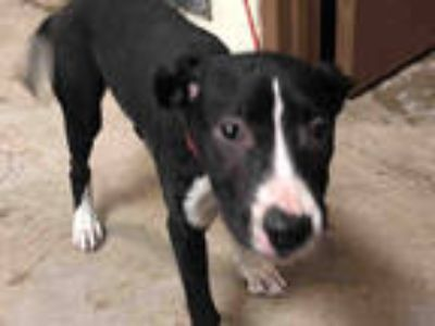 Adopt NURSE BETTY a Black - with White American Pit Bull Terrier / Mixed dog in