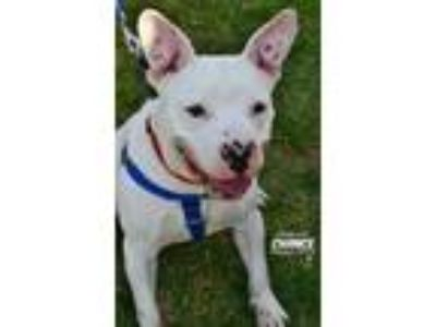 Adopt Chance a White American Pit Bull Terrier / Mixed dog in Niagara Falls