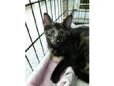 Adopt Stardust a Domestic Shorthair / Mixed (short coat) cat in Ft.