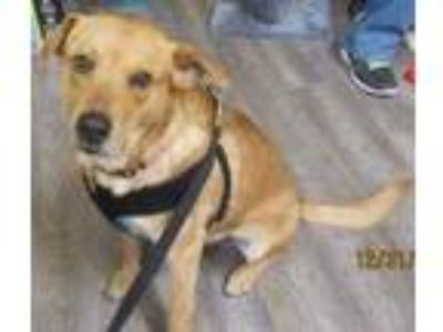 Adopt Benjamin JuM a Red/Golden/Orange/Chestnut Labrador Retriever / Shepherd