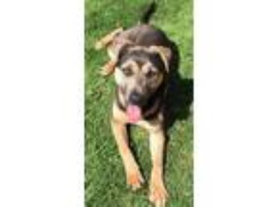 Adopt Sweet Rufus a German Shepherd Dog, Mastiff