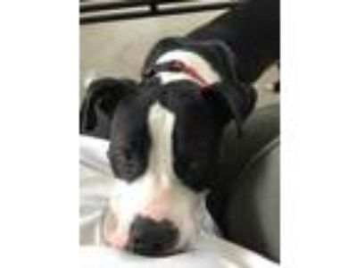 Adopt zCourtesy - Rocco a Pit Bull Terrier