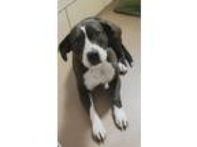Adopt Lucille a Pit Bull Terrier, Mixed Breed