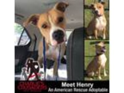 Adopt Henry a Tan/Yellow/Fawn - with White Boxer dog in Norristown