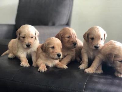 Goldendoodle PUPPY FOR SALE ADN-104534 - F1 Goldendoodles