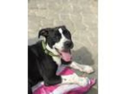 Adopt Toasty a Black - with White Pit Bull Terrier / Boston Terrier dog in