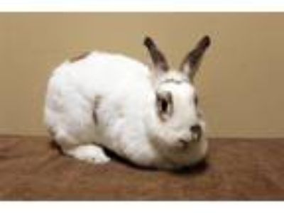 Adopt Frances Bean a White Other/Unknown / Mixed rabbit in Fountain Valley