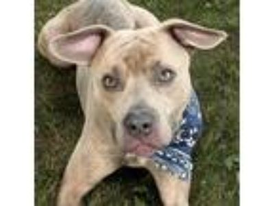Adopt Garmin a Brindle Pit Bull Terrier / Mixed dog in Troy, OH (25643076)