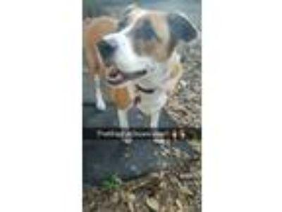 Adopt Hunny a Tan/Yellow/Fawn - with White Labrador Retriever dog in Orlando