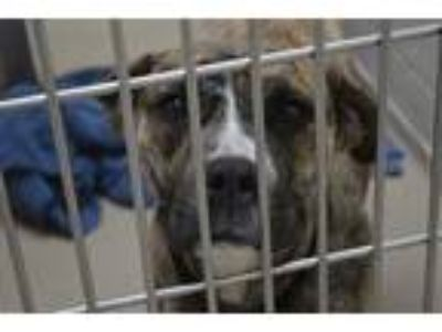 Adopt JULIA a Brindle American Pit Bull Terrier / Mixed dog in Decatur