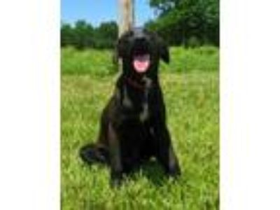 Adopt Lilah a Black Labrador Retriever / Mixed dog in Centerton, AR (25534745)
