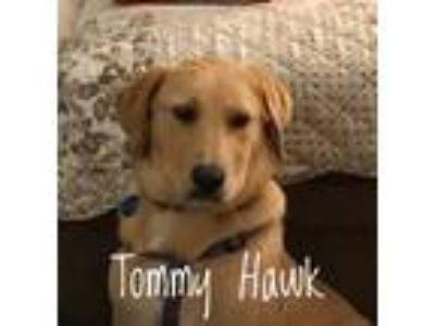 Adopt Tommy Hawk a Tan/Yellow/Fawn - with White Golden Retriever / Mixed Breed