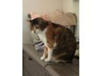Adopt Kelly 2 a Domestic Shorthair / Mixed (short coat) cat in Bourbonnais