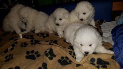 friendly temperaments samoyed puppies