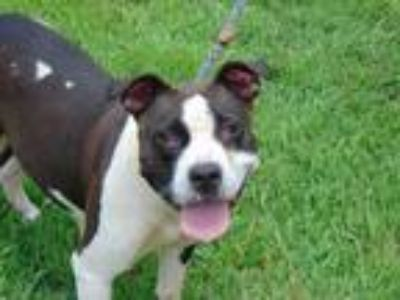 Adopt LARA a Black - with White American Pit Bull Terrier / Mixed dog in