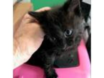 Adopt lois a All Black Domestic Shorthair cat in League City, TX (25648273)
