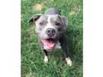 Adopt Gizmo a Pit Bull Terrier