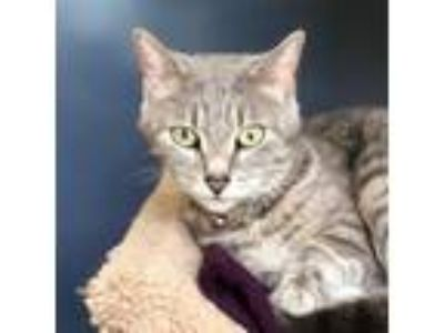 Adopt Sami a Gray or Blue Domestic Shorthair / Domestic Shorthair / Mixed cat in