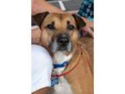 Adopt Cerise a Tan/Yellow/Fawn Shar Pei / Rhodesian Ridgeback / Mixed dog in