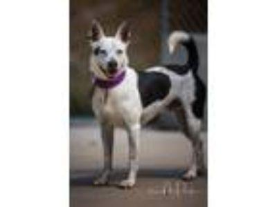 Adopt Tojo a Terrier, Hound
