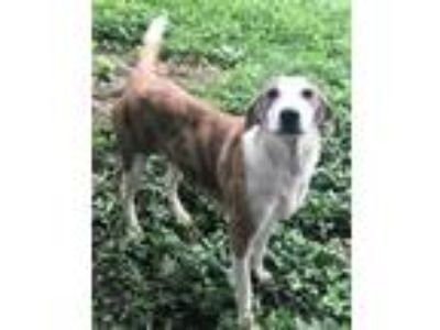 Adopt **YAZMIN** MEET JULY 20TH! a Great Pyrenees, Greyhound